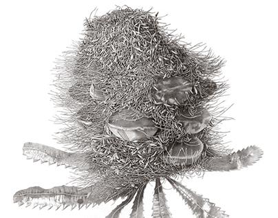 Banksia serrata seratifolia