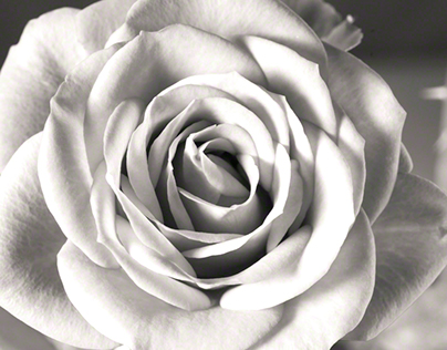 Red Rose in Monochrome