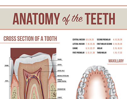 Tooth Anatomy Poster