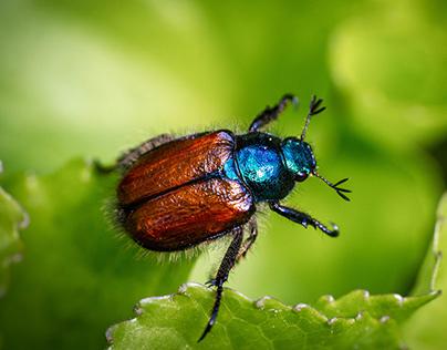 Beetle. Rozenkever.