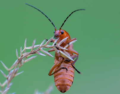 Photo Series: Nature / Case 23: Red Soldier Beetle