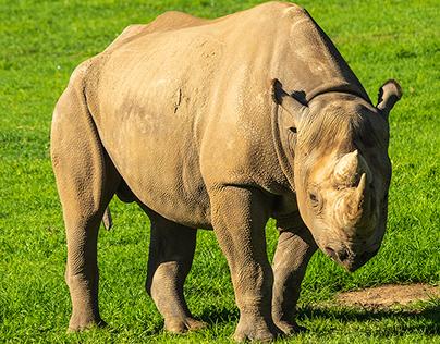 Black Rhino, Dubbo, Western plains Zoo