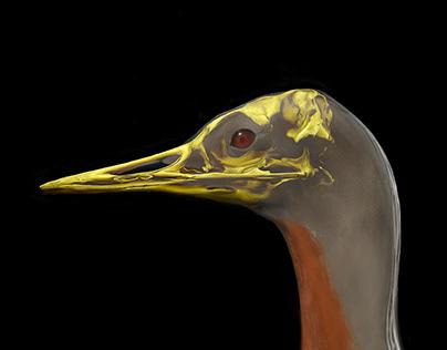Red throat diver / Gavia stellata