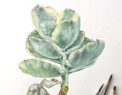 Cotyledon orbiculata. Botanical illustraton
