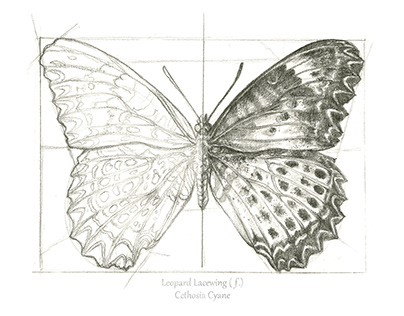 Two Butterflies Scientific Illustration