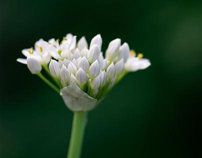 White Allium Flowers