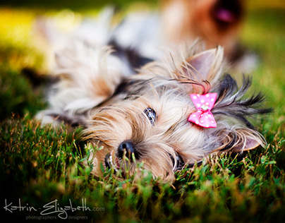 Pet Photography (2012) | Yorkshire Terriers