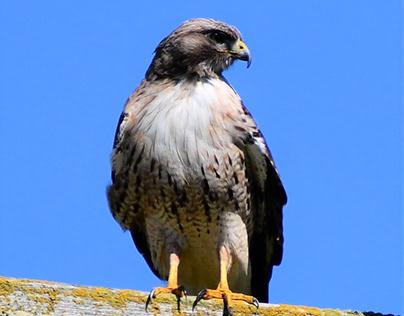 Hawk in Ferndale