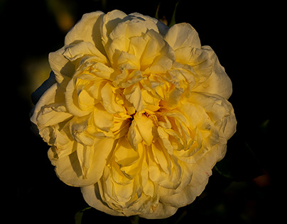 A yellow rose at sunset