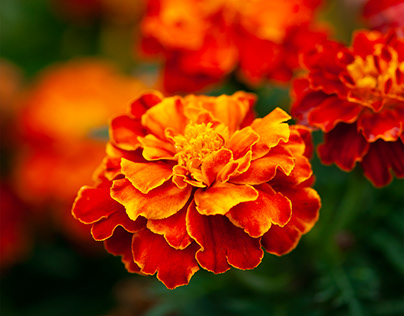 Orange and Red Marigolds