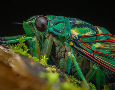 Colorful cicada (Zammara sp.)