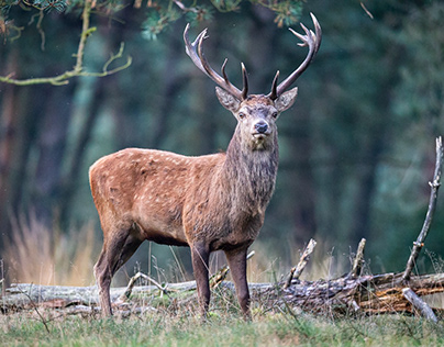 The Stag...