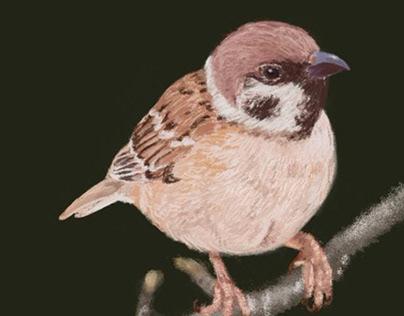 Little Sparrow 小麻雀