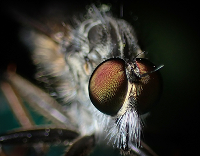 The world of robber flies and buff-tip moths