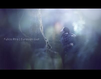 FULICA ATRA | Eurasian coot