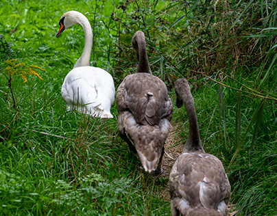 Three swans in a row or some food is passing by…