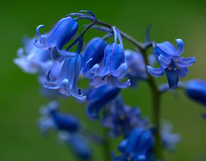 Gainsborough Bloom