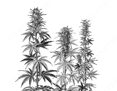 Cannabis Indica tree botanical illustration