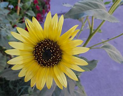 just a sunflower... :-)