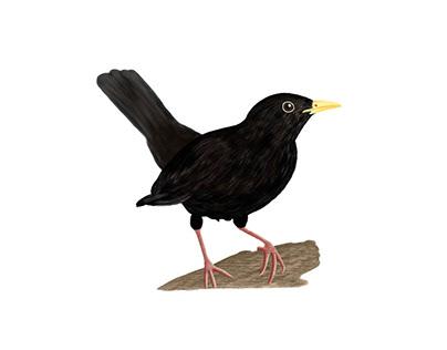 Blackbird (illustration)
