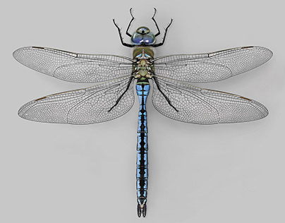 Emperor drangonflies scientific illustration. (Ps CC)