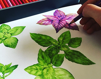 Herbs. Watercolour illustrations.