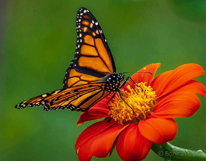 Mexican Sunflowers and Monarch Butterfly