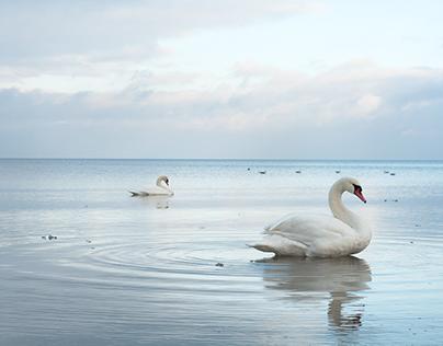 ice SWANS Latvia