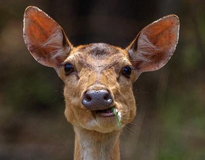 Wildlife - Kanha National Park