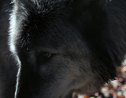 The Lakota Wolves part III