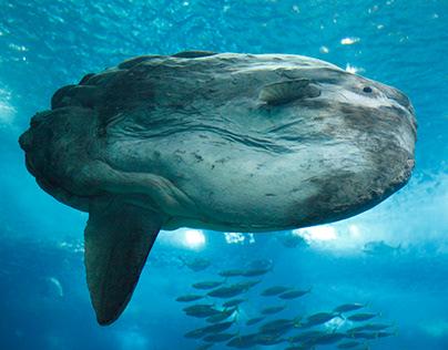 Moonfisch, (Mola Mola)