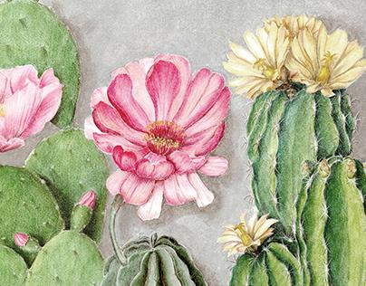 Botanical illustration of cacti