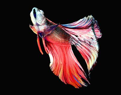 Betta FishFree Download 3D scene