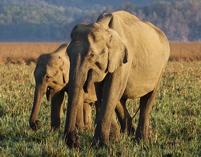 Indian Wildlife - Corbett & Panna National Parks