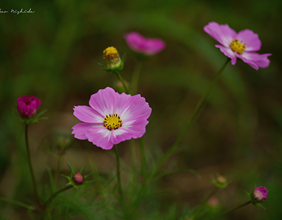 COSMOS FIELD IN SHICHIJO TOWN