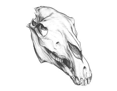 Horse SKULL Drawing, Time-lapse.