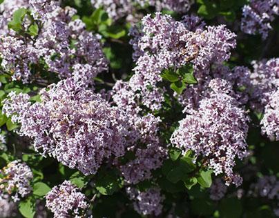 Lilac Festival Defiance, Ohio USA 5-13-17