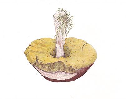 Karl Johan mushroom