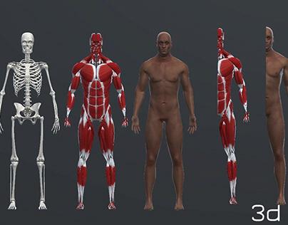 Human Anatomy Skeleton Muscle Skin Skull 3d models
