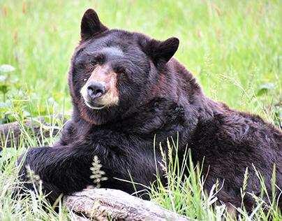 Bear 2021