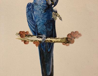 Blue Macow parrot