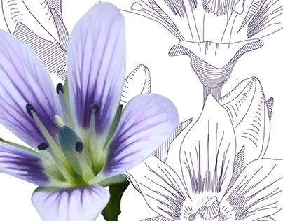 Gentianella corymbosa