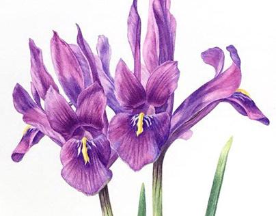 Iridodictyum histrioides. Watercolor illustration