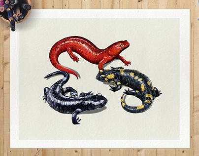 Technical Salamander Illustration