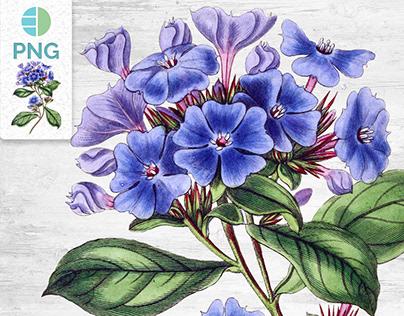 Vintage Flower Clipart Blue Plumbago