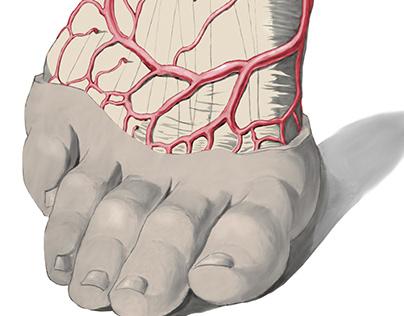 Anatomy - right foot, veins