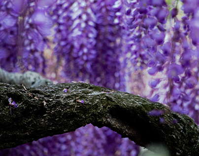 Miraculous Wisteria / Photography