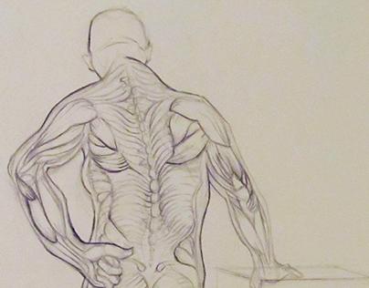 Muscular Anatomy - 2015