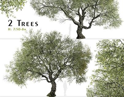 Set of Canyon live oak Tree (Quercus chrysolepis)