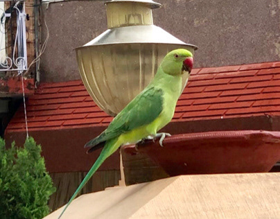 The Indian ring-necked parakeet 2.